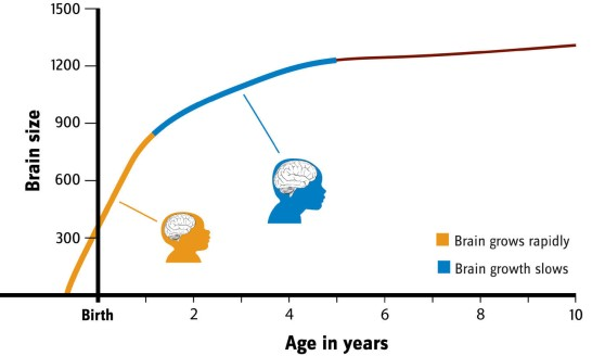 Human brains grow rapidly before birth through the first year an